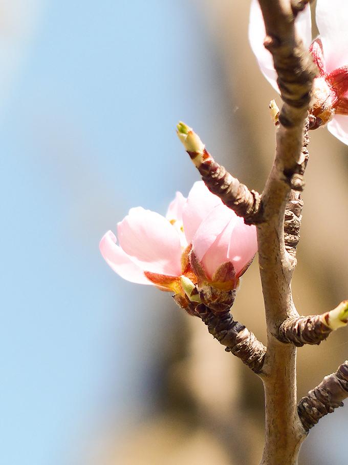 Fleurs-d'amandiers