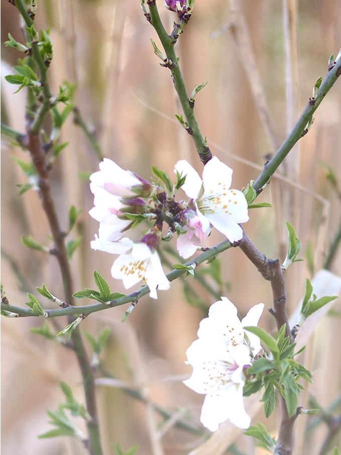 Fleurs-d'amandiers_2