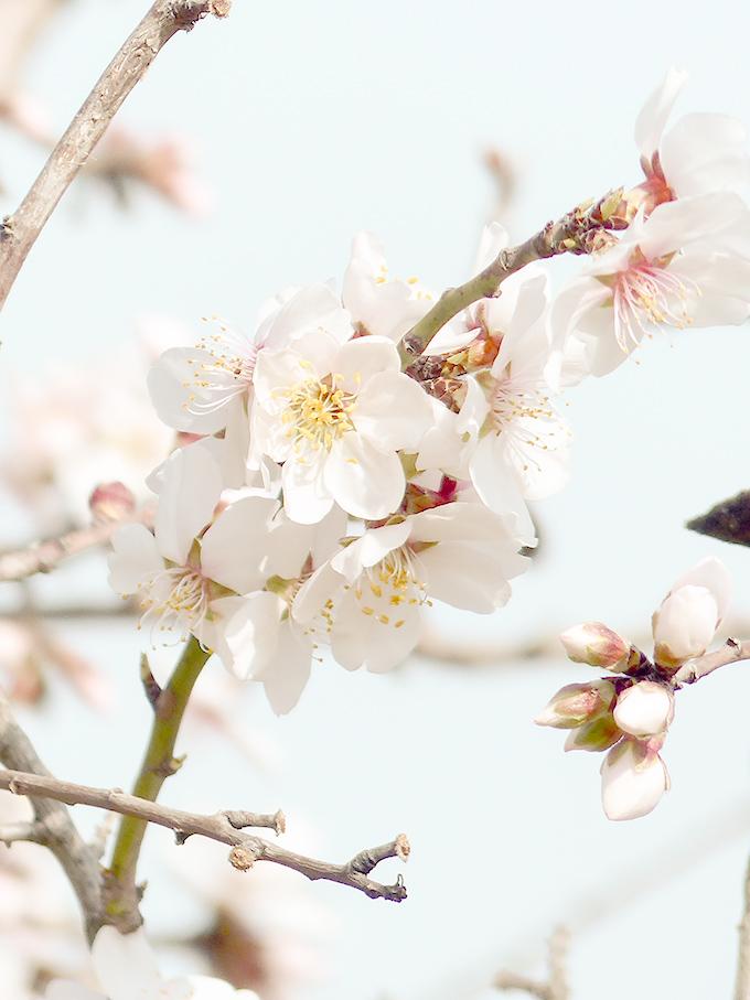 Fleurs-d'amandiers_4