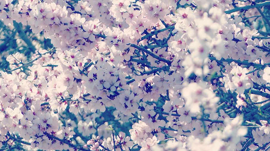 Fleurs-d'amandiers_7
