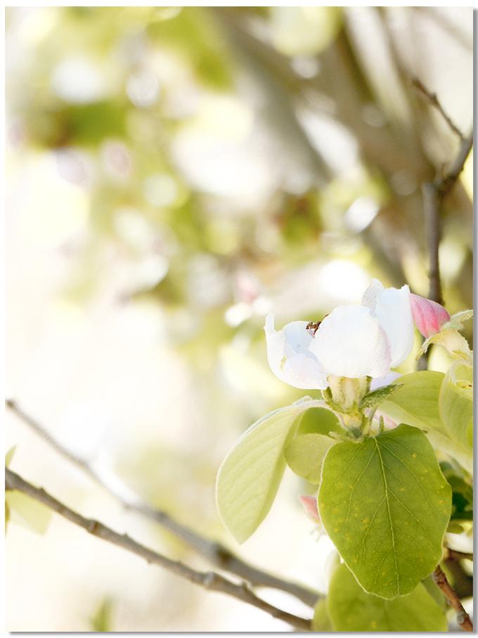 Fleurs-de-cognassier