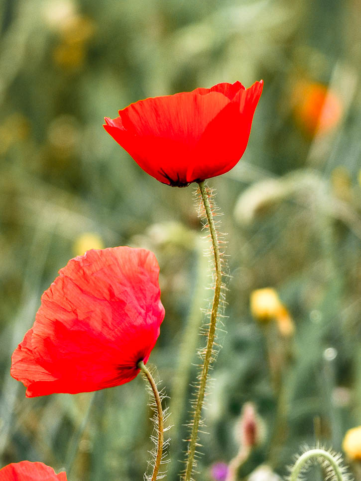 Plantes sauvages coquelicot