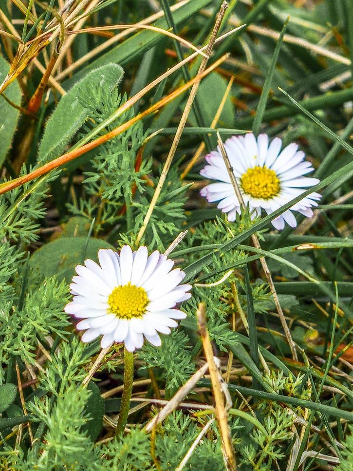 Plantes sauvages pâquerette