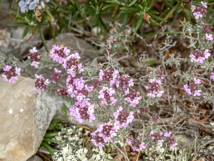 Plantes sauvages comestibles, Fleur de thym