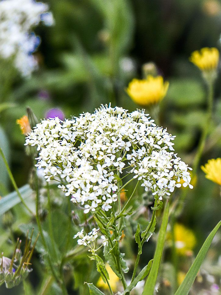 Fleur Comestible Brocoli Sauvage