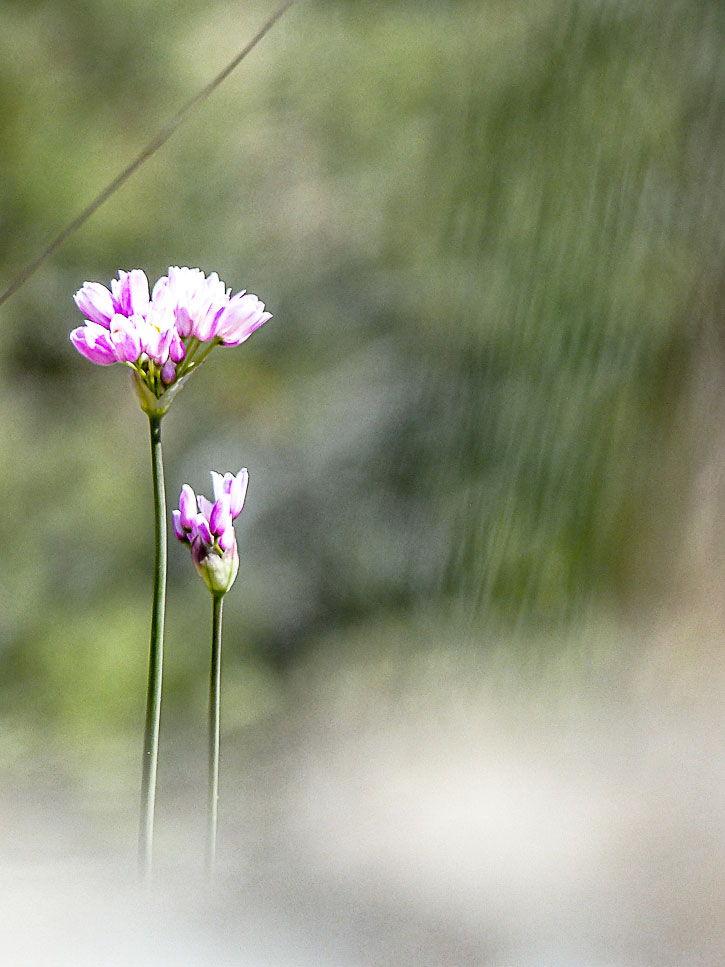 fleur comestible d'ail rose