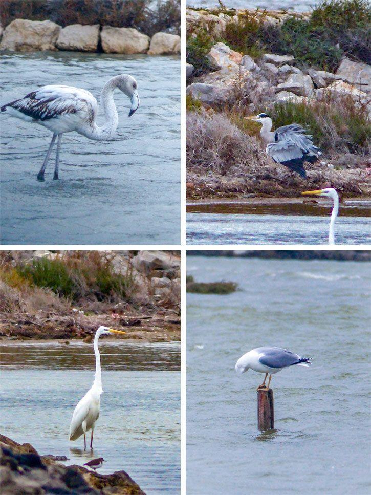 Oiseaux-Peyriac-de-Mer