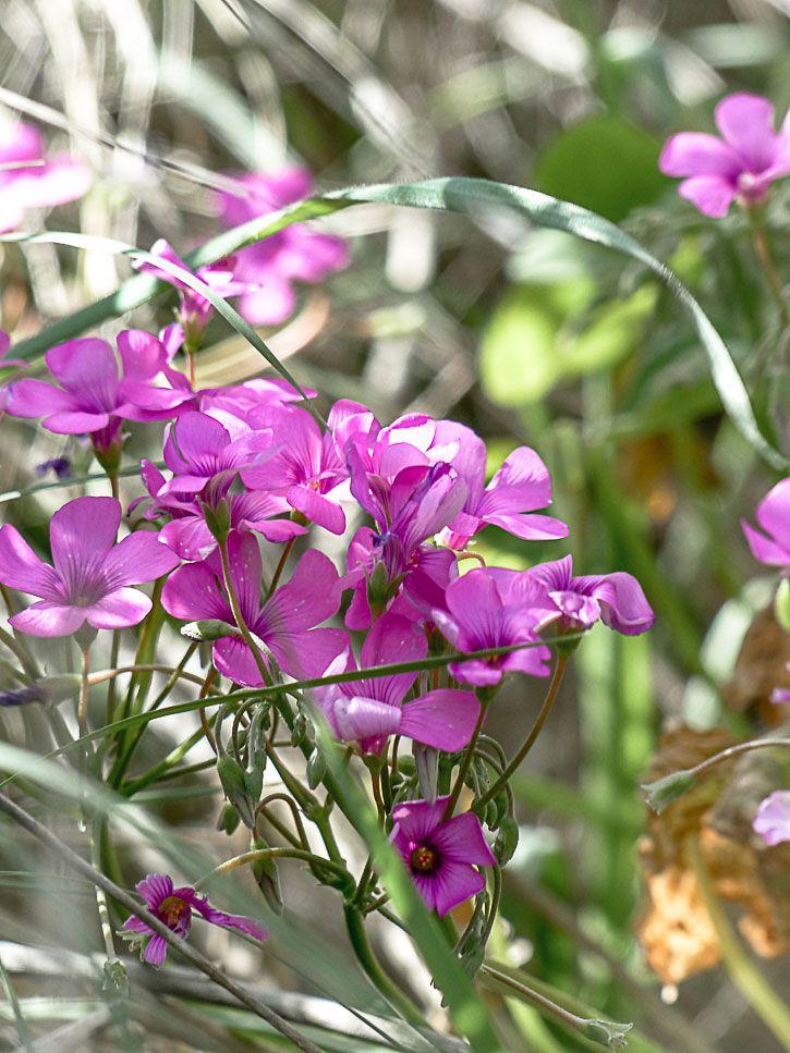 Fleur Comestible D Oxalis