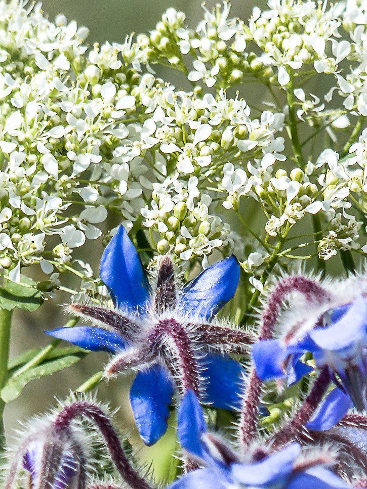 fleurs comestibles de  bourrache