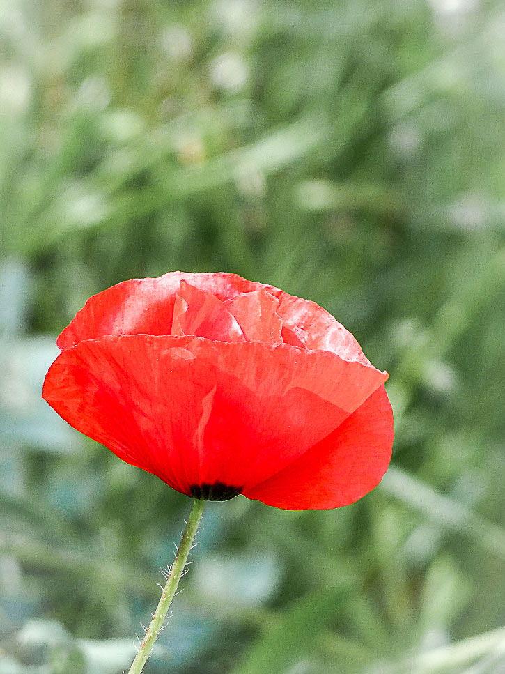 fleur comestible de coquelicot