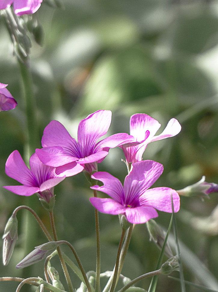 fleurs comestibles d'oxalis
