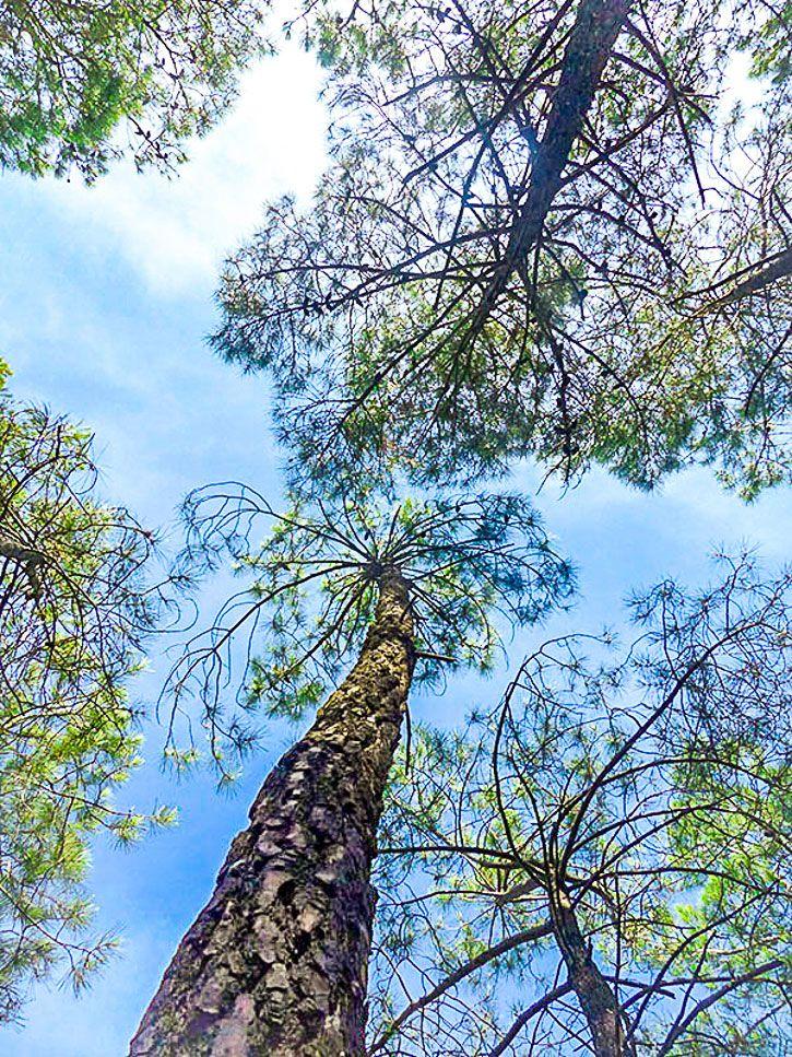 pins en méditerrannée